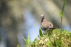 在草的沙漠鸟 免版税库存照片