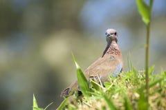在草的沙漠鸟 库存图片