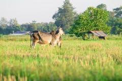 在草的泰国当地品种母牛 库存图片
