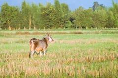 在草的泰国当地品种母牛 免版税库存图片