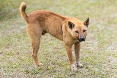 在草的泰国流浪狗 库存图片