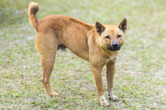在草的泰国流浪狗 免版税库存照片