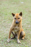 在草的泰国流浪狗 免版税图库摄影