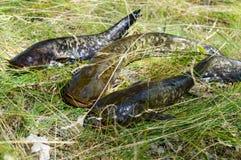 在草的活鲶鱼谎言 新鲜的抓住 免版税图库摄影