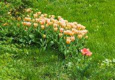 在草的浅粉红色的郁金香 库存照片