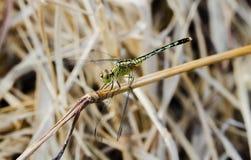 在草的浅绿色的蜻蜓宏指令 库存照片