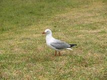 在草的海鸥 免版税图库摄影