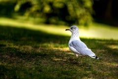 在草的海鸥 图库摄影
