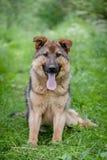 在草的混杂的品种狗 免版税库存照片