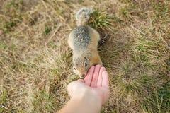 在草的温驯的地鼠吃用手,特写镜头 图库摄影