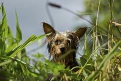 在草的湿约克夏狗 库存图片