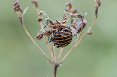 在草的满地露水的shieldbug在领域 免版税库存照片