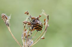 在草的满地露水的shieldbug在领域 库存照片