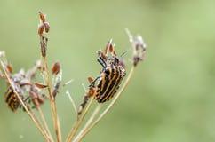 在草的满地露水的shieldbug在领域 免版税图库摄影