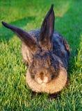 在草的灰色兔子在太阳的光芒 免版税库存照片