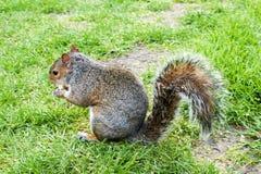 在草的灰色灰鼠与一枚坚果在手上 免版税图库摄影