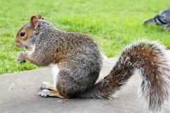 在草的灰色灰鼠与一枚坚果在手3上 库存照片
