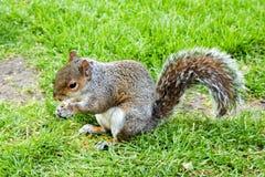 在草的灰色灰鼠与一枚坚果在手4上 免版税库存图片