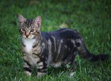 在草的灰色镶边平纹小猫 免版税图库摄影