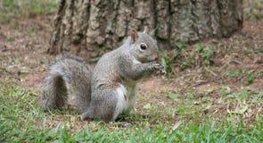 在草的灰鼠与树在背景中 免版税库存照片