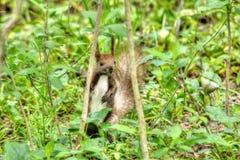 在草的灰鼠 免版税库存照片