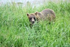 在草的熊。 免版税库存照片