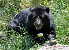在草的熊 免版税库存图片