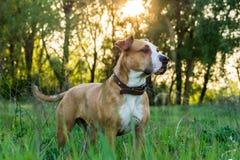 在草的狗在日落 库存图片