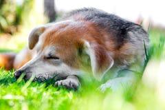 在草的狗 库存照片