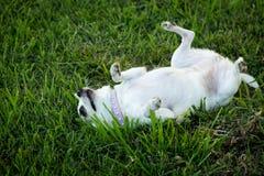 在草的狗 免版税库存图片