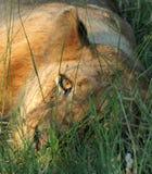 在草的狮子 免版税库存图片