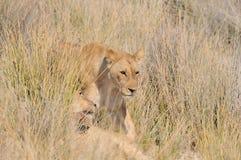 在草的狮子 库存照片
