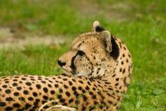 在草的猎豹 免版税库存图片