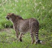 在草的猎豹 免版税图库摄影