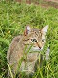 在草的猫狩猎 免版税库存图片