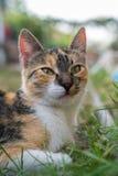 在草的猫画象 免版税图库摄影