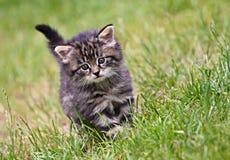 在草的猫 免版税库存图片