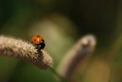 在草的瓢虫 免版税库存照片
