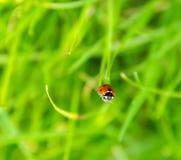 在草的瓢虫 免版税库存图片