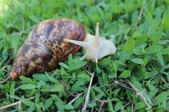 在草的白变种蜗牛 库存图片