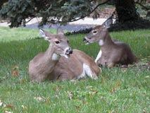 在草的白尾鹿 库存图片