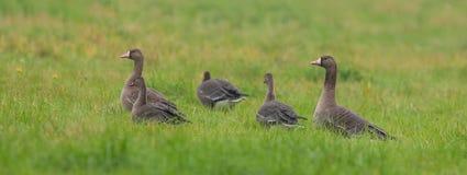 在草的白朝向的鹅家庭 库存图片