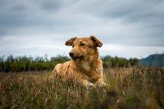 在草的白肤金发的狗在Plastira湖,希腊旁边 库存图片