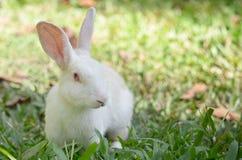 在草的白色兔子 免版税库存图片