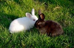 在草的白色和黑兔子 免版税库存图片
