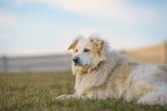 在草的白色狗 免版税库存照片