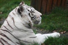 在草的白色老虎 免版税库存照片