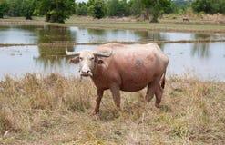 在草的白色水牛 库存照片