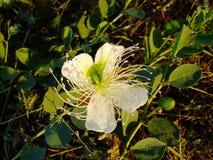 在草的白花绽放 免版税库存图片