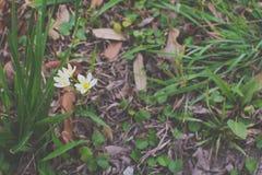 在草的白花 免版税库存照片